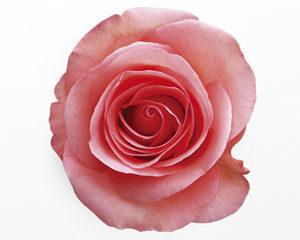 アロマ薔薇web