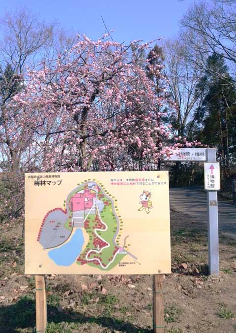 梅の芳香を満喫した 近つ飛鳥博物館