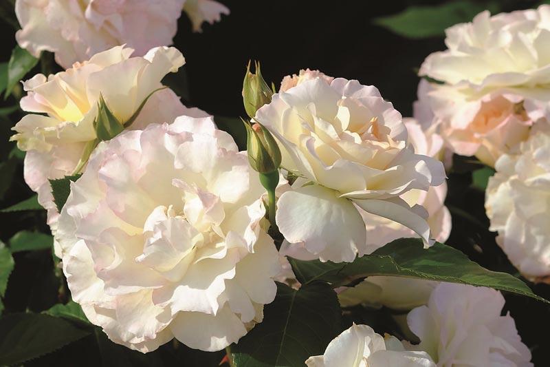 「ベルばら」ファンも注目!1万株のバラが咲く、京成バラ園『ローズフェスティバル2017』入場券
