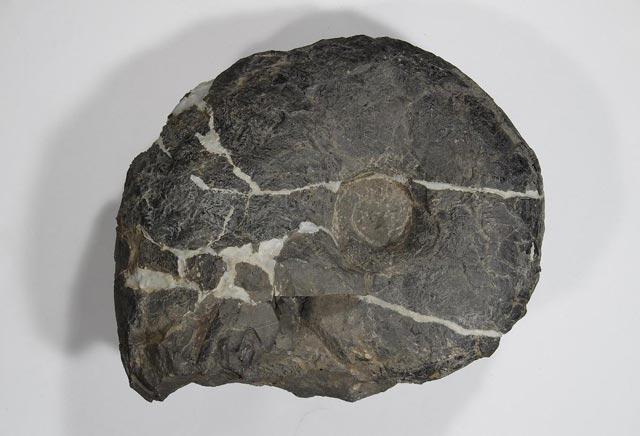 大阪市立自然史博物館 「特別展 石は地球のワンダー~鉱物と化石に魅せられた2人のコレクション~鑑賞券」