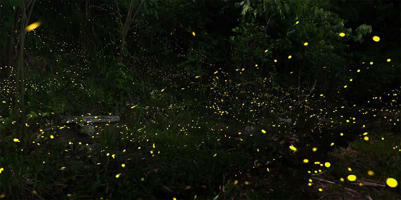 〝幻想的な光に魅せられて〟 西除川のヒメボタル