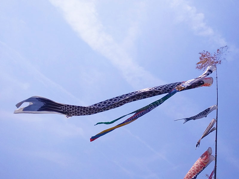 約400匹もの鯉のぼりが泳ぐ 富田林市石川河川敷 ~読者の便り~
