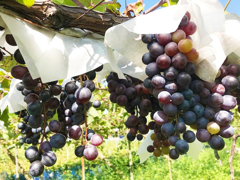 大阪・柏原のカタシモワイナリーで、ワイナリー・ぶどう畑見学&ワインを楽しむフレンチランチ会