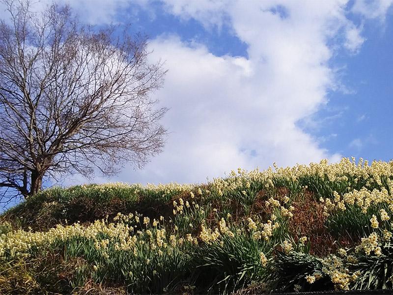 千早赤阪村の「スイセンの丘」を訪ねて