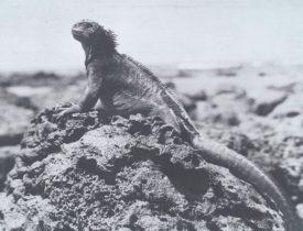 ウミイグアナ(サンタ・クルス島アカデミー湾、1932年)国立民族学博物館蔵