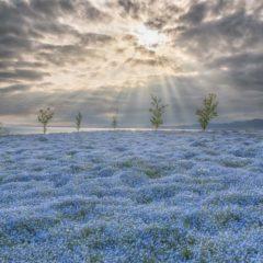 約100万株のネモフィラが咲き誇る絶景! 空・海・花の三重奏 ネモフィラ祭り 4月7日(火)~5月10日(日)