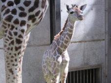 キリンの赤ちゃんが亡くなりました